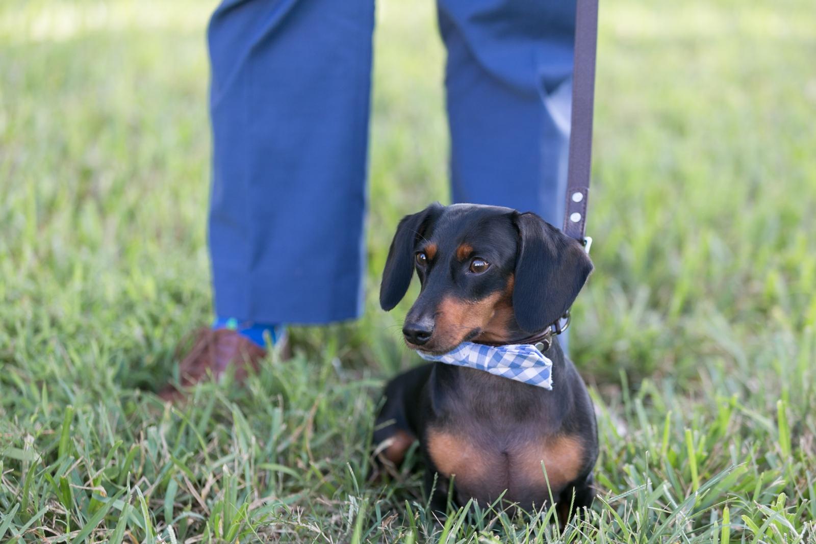 wedding dachshund in plaid bowtie