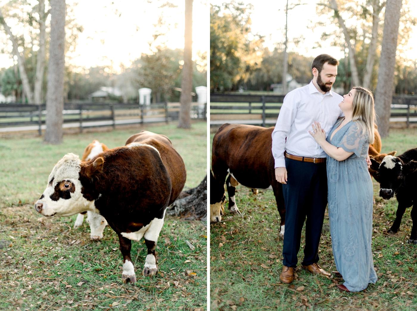 mini cows photo shoot